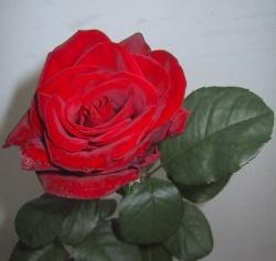 Una rosa per il mio amore